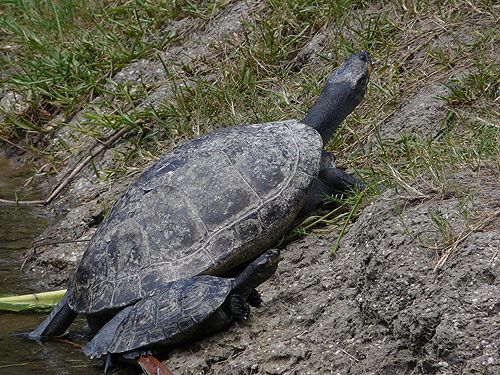 photo Yellow-spotted Amazon river turtle / <span class='cursive'>Podocnemis unifilis</span>