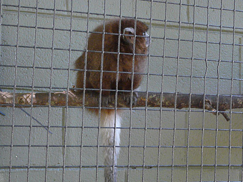 photo White-eared titi / <span class='cursive'>Plecturocebus donacophilus</span>