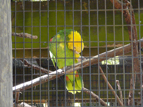 photo Yellow-headed amazon / <span class='cursive'>Amazona oratrix oratrix</span>