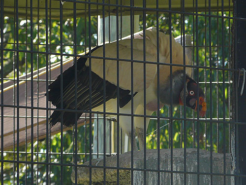 photo King vulture / <span class='cursive'>Sarcorhamphus papa</span>