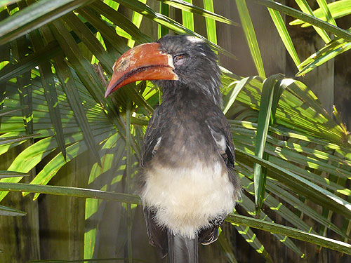 photo Crowned hornbill / <span class='cursive'>Tockus alboterminatus</span>