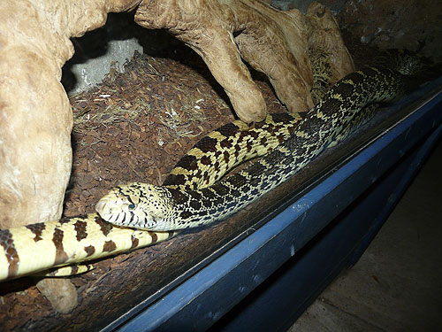 photo Gopher/pine snake / <span class='cursive'>Pituophis catenifer</span>