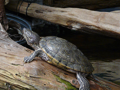 photo Barbour's map turtle / <span class='cursive'>Graptemys barbouri</span>