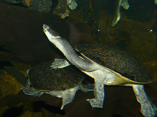 Giant snake-necked turtle