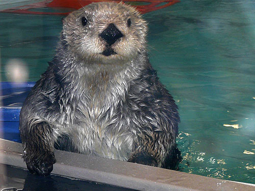 photo Southern sea otter / <span class='cursive'>Enhydra lutris nereis</span>