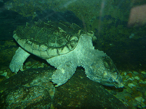 photo Macrochelys temminckii / Alligator snapping turtle