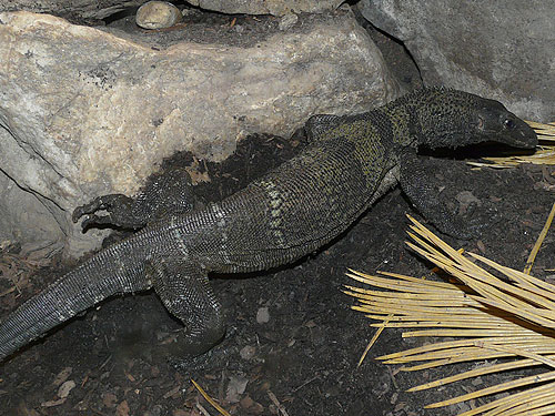 Rough-necked monitor
