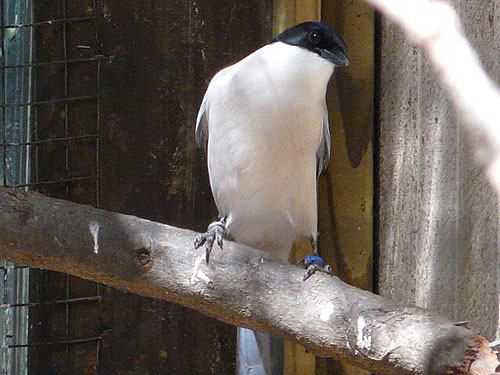 photo Azure-winged magpie / <span class='cursive'>Cyanopica cyanus</span>