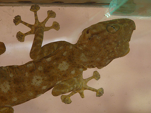 Fan-footed gecko
