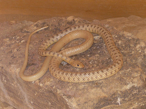 photo Slender whip snake / <span class='cursive'>Platyceps rhodorachis</span>