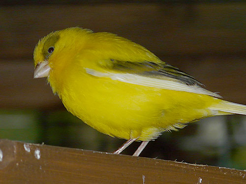 photo <span class='cursive'>Serinus canaria</span> / Common canary