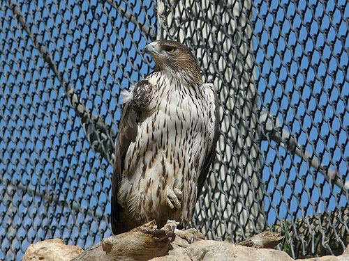 photo Bonelli's hawk eagle / <span class='cursive'>Aquila fasciata fasciata</span>
