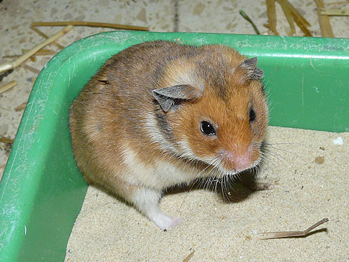 photo Golden hamster / <span class='cursive'>Mesocricetus auratus</span>