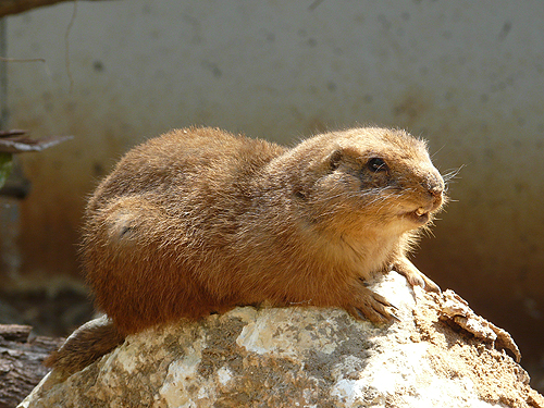 photo Black-tailed prairie dog / <span class='cursive'>Cynomys ludovicianus</span>