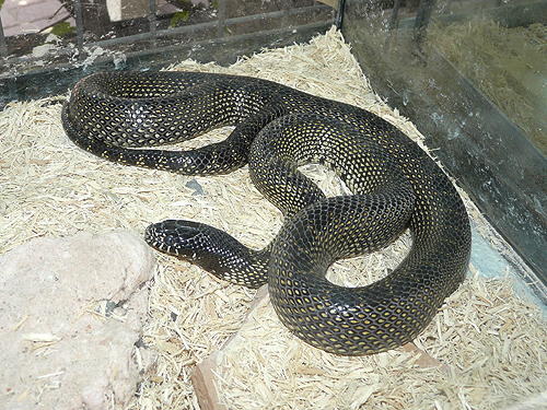 photo Desert kingsnake / <span class='cursive'>Lampropeltis getula splendida</span>
