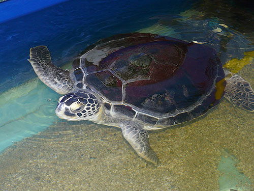 photo Green turtle / <span class='cursive'>Chelonia mydas</span>