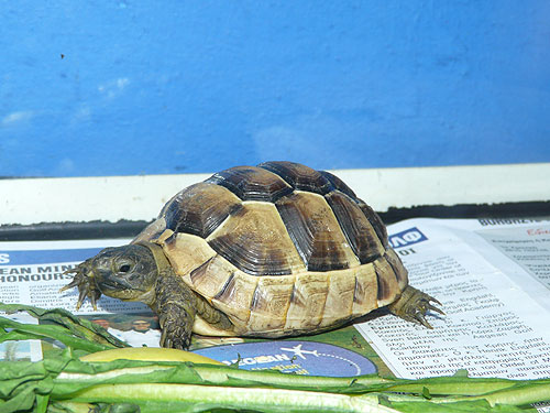 photo Turkish spur-thighed tortoise / <span class='cursive'>Testudo graeca ibera</span>