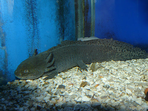 photo Axolotl / <span class='cursive'>Ambystoma mexicanum</span>