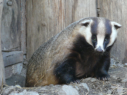 Asian badger