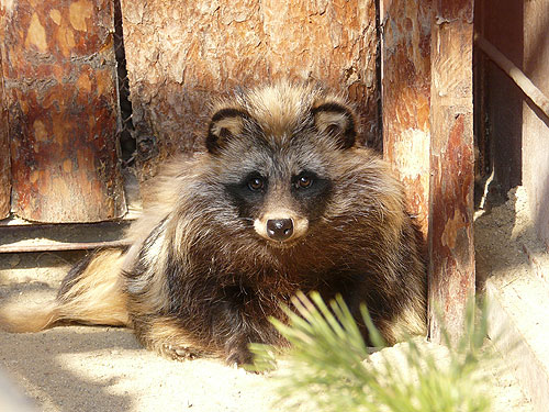 Raccoon dog