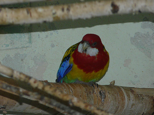 photo Eastern rosella / <span class='cursive'>Platycercus eximius</span>