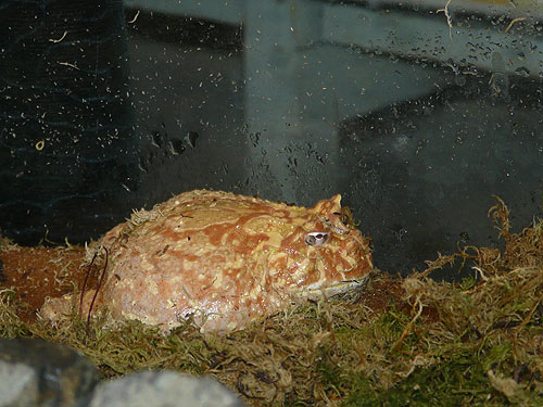 Chacoan horned frog
