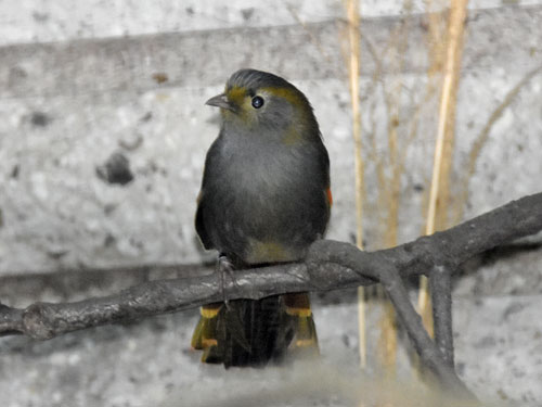 photo Liocichla omeiensis / Mount Omei babbler