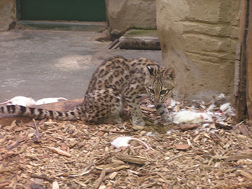 photo Tiger cat / <span class='cursive'>Leopardus tigrinus</span>