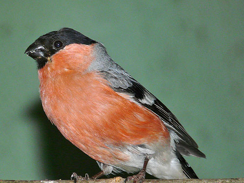 Common bullfinch