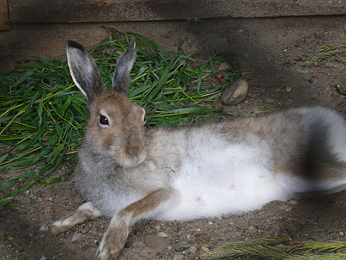 photo Mountain hare / <span class='cursive'>Lepus timidus</span>