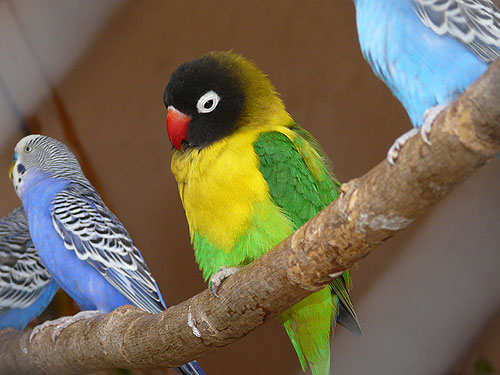 photo Agapornis personata / Masked lovebird