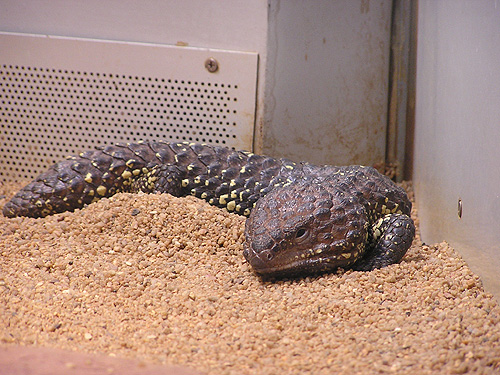 photo Tiliqua rugosa / Shingleback skink