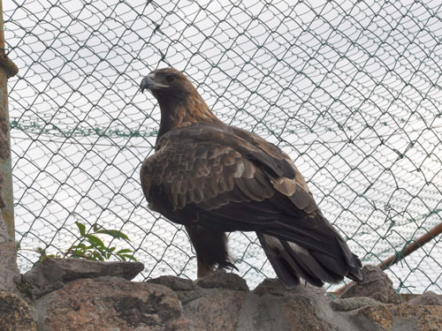 photo Aquila chrysaetos / Golden eagle
