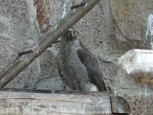 photo Northern goshawk / <span class='cursive'>Accipiter gentilis</span>