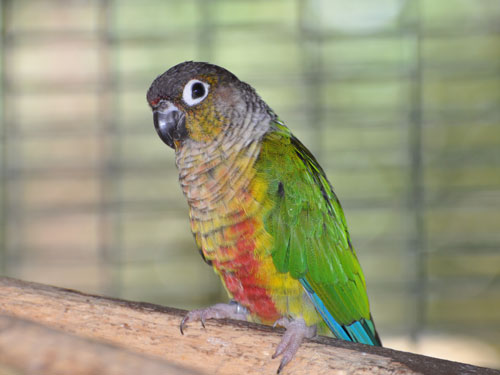 Yellow-sided green-cheeked conure