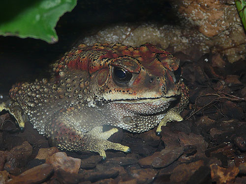 photo Bufo melanostictus / Asiatic black-spined toad