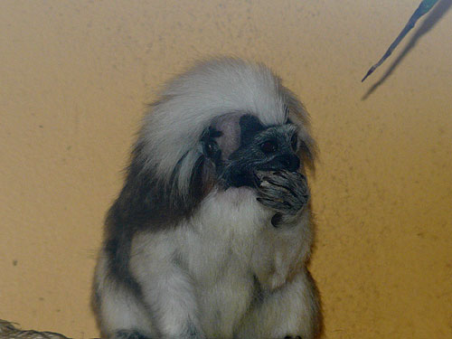photo Saguinus oedipus / Cotton-top tamarin