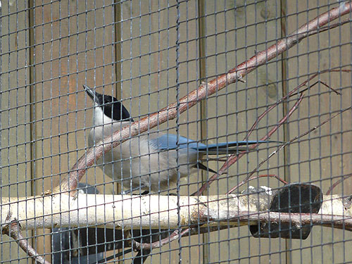 photo Cyanopica cyanus cooki / Iberian azure-winged magpie