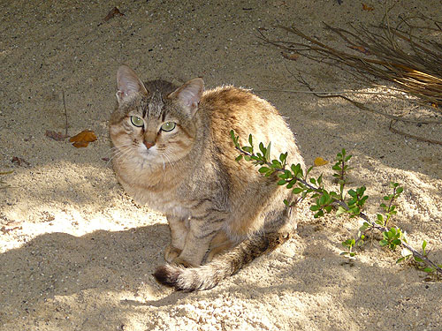 photo Oman wild cat / <span class='cursive'>Felis silvestris gordoni</span>