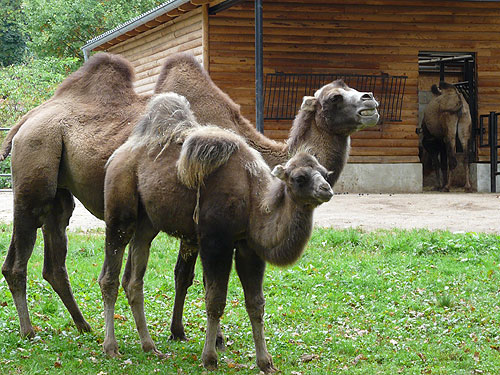 photo Camelus bactrianus / Bactrian camel