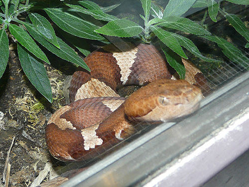 Broad-banded copperhead