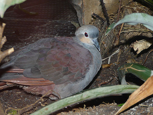 photo Crested quail dove / <span class='cursive'>Geotrygon versicolor</span>