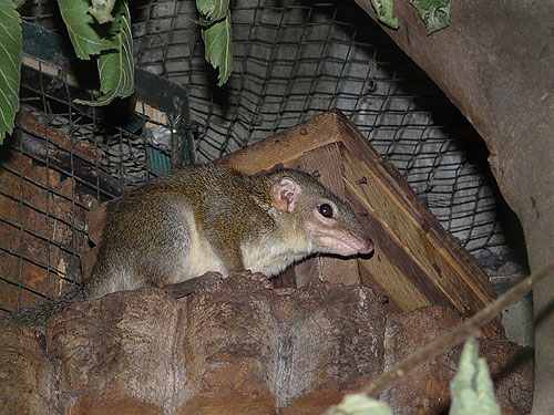 Burmese tree shrew