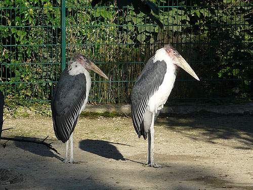 photo Marabou stork / <span class='cursive'>Leptoptilos crumenifer</span>