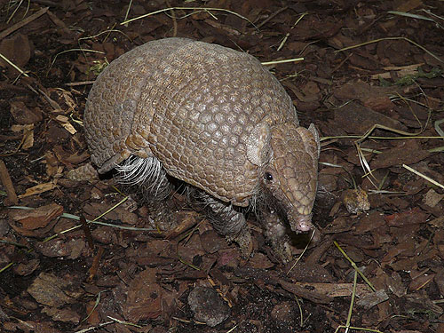 Southern three-banded armadillo