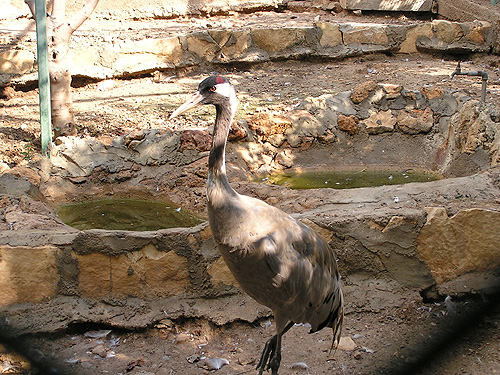 photo Common crane / <span class='cursive'>Grus grus grus</span>