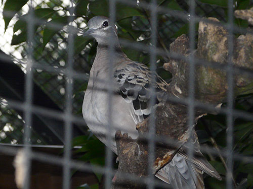 photo Bronzewing pigeon / <span class='cursive'>Phaps chalcoptera</span>