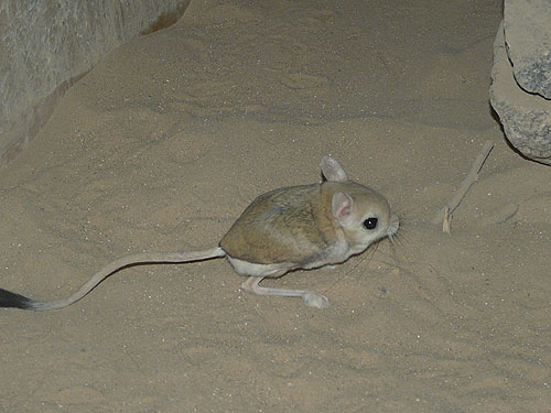 photo Greater Egyptian jerboa / <span class='cursive'>Jaculus orientalis orientalis</span>