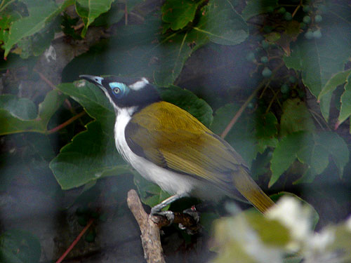 photo Blue-faced honeyeater / <span class='cursive'>Entomyzon cyanotis</span>