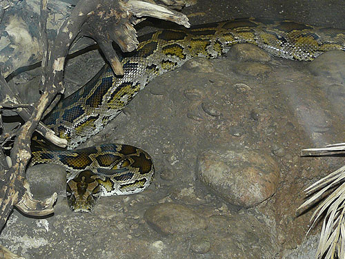 Indian rock python
